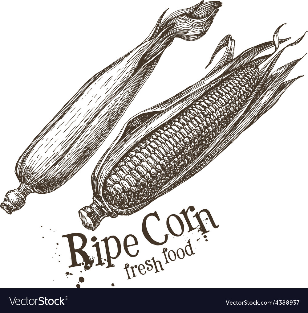 Ripe corn logo design template fresh vector
