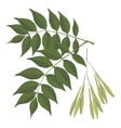 Ash tree leaves isolated on white background vector image