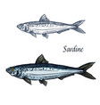 sardine fish isolated sketch icon vector image vector image