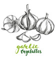 garlicvegetable set hand drawn vector image