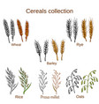 set of cereals barley rye oats rice proso vector image