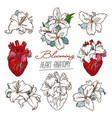 set of stylized anatomical human heart and white vector image