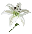 Flower white lily stalk and stamens vector image