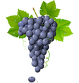 vineyard grapes vector image