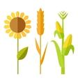 Sunflower wheat corn vector image