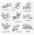 culinary herbs vector image