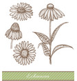 echinacea in hand drawn style vector image