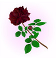 black rose with bud stem vintage vector image