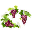 bunches of pink grapes vector image