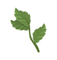 mint plant leaves vector image