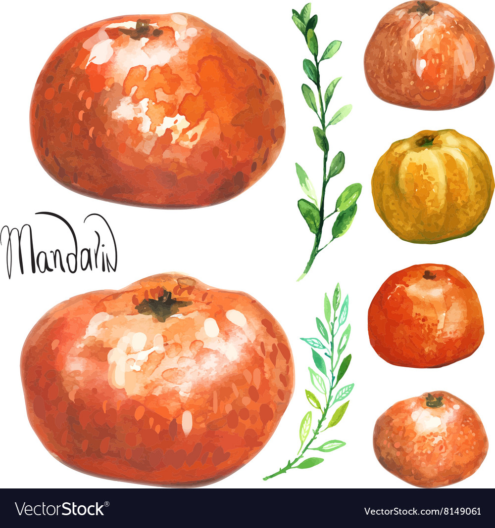 Set of hand drawn watercolor mandarins vector