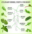 culinary herbs useful for the body vector image