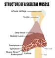 Structure of a skeletal muscle vector image