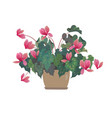 pink cyclamen in a pot vector image