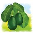 avocados vector image vector image