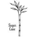 Sugar Cane Plant vector image