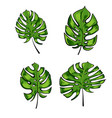 exotic tropical leaves of monstera leaves isolated vector image