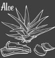 Aloe Vera Plant vector image