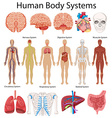 Diagram showing human body systems vector image