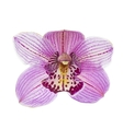 Pink orchid isolated on white background vector image vector image