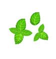 fresh green basil leaves icon flat of basil vector image