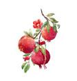 pomegranate fruit branch vector image