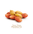 peanut kernels isolated on a white background vector image vector image