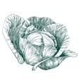 cabbage vegetable hand drawn llustration vector image vector image
