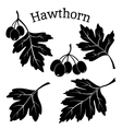 Hawthorn Leaves and Fruits Pictograms vector image