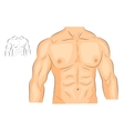 men s body arms shoulders chest and abs vector image