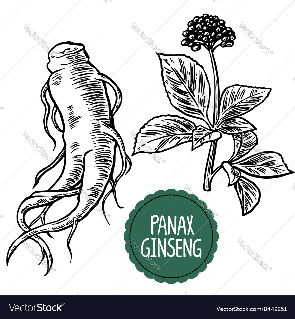 Root and leaves panax ginseng black and vector