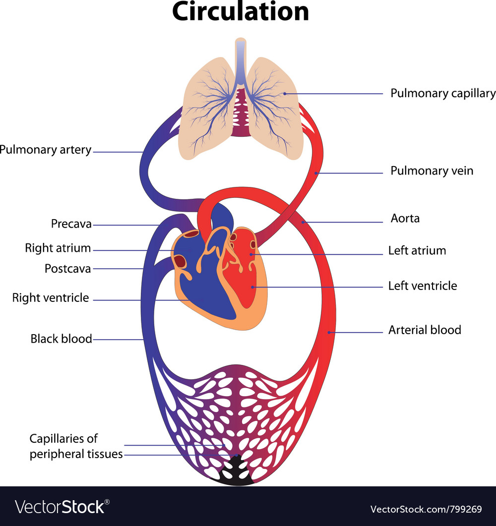 Schematic representation of the human circulatory vector