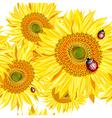 Sunflower Background with Ladybugs vector image