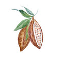 watercolor cacao fruits vector image