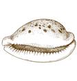 engraving seashell vector image