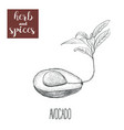 avocado hand drawing herbs and spices vector image