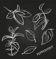 hand drawn mint leaves peppermint set on vector image