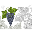 Grapes in vintage engraved style vector image vector image