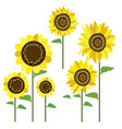 colored sunflowers vector image