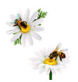 Honey bees sitting on daisy flowers vector image