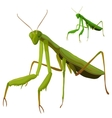Green grasshopper closeup on white background vector image