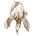 engraving iris vector image