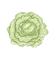 Hand drawn vintage style colorful cabbage vector image