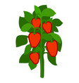 homegrown ripe red bell peppers with green leaves vector image