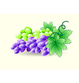 Green and blue grapes on a branch vector image