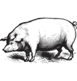 Swine vector image