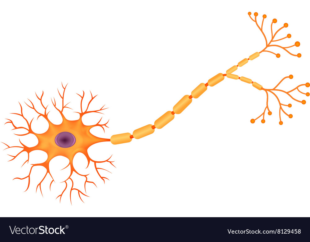 Cartoon of human neuron anatomy vector