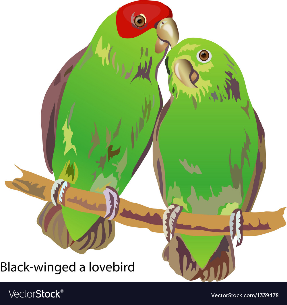 Blackwinged a lovebird vector