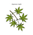 japanese-maple vector image