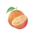 watercolor orange fruit with leaf on white vector image